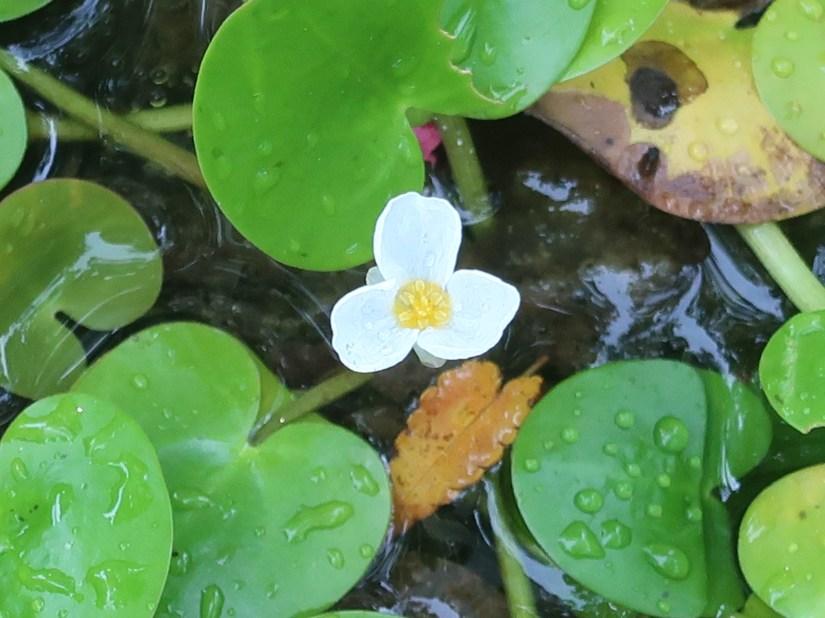 Frogbit / トチカガミ