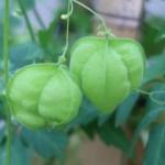 Balloon plant / フウセンカズラ