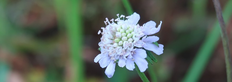 Japanese Pincushion Flower/ マツムシソウ