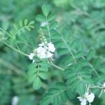 コマツナギ 花の様子 白花