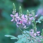 コマツナギ 花の様子 ピンクの花