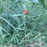 ゴジカ 花の咲いている様子
