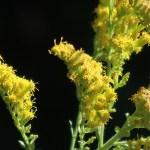 セイタカアワダチソウ 花の姿