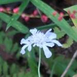 マツムシソウ 花の姿