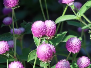 センニチコウ 花の姿