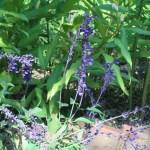 ラベンダーセージ 花の咲いている様子