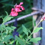チェリーセージ 花の様子