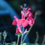 チェリーセージ 花の姿