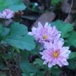 Painted daisy/ アカバナムシヨケギク