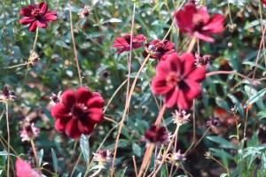 チョコレートコスモス 花の様子 品種名 チョコモカ