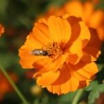 コスモス 品種名 ロードオレンジ