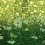 薄黄色の素敵なコスモス畑 品種名 イエローキャンパス