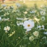 白色と黄色のコスモス 品種:イエローガーデンとイエローキャンパス