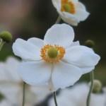 シュウメイギク 白花の花の姿