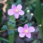 シュウメイギク ピンクの花の様子