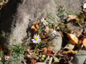カワラノギク 花の咲いている様子