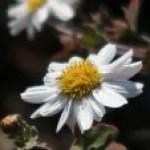 Chrysanthemum japonicum / リュウノウギク