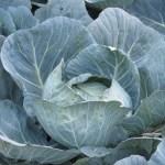 Cabbage / キャベツ