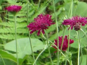 タカネマツムシソウ 花の姿