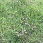 ムラサキツメクサ 花の咲いている様子