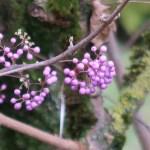 Bodinier's beautyberry/ カリカルパ・ボディニエリ