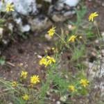 セネシオイナエクイデンス 花の咲いている様子