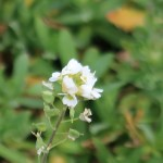 シヴェレキアポドリカ 花の姿