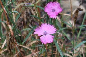 ホソバナデシコ 花の姿