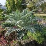 カルドン 植物の様子