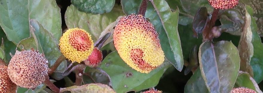 Toothache plant/ オランダセンニチ