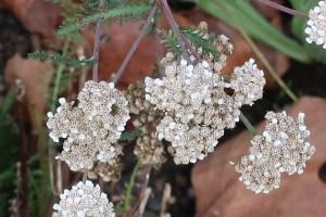 セイヨウノコギリソウ 晩秋の花の姿