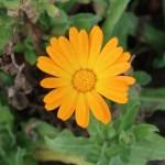 キンセンカ 花の姿