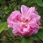 Old rose オールドローズ Damask rose ダマスクスローズ