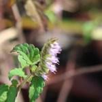 ナギナタコウジュ 花の様子