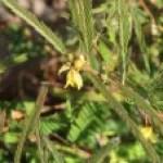 Field sensitive pea/ カワラケツメイ