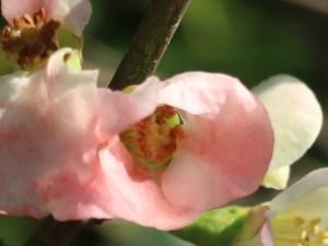 ボケ 薄桃色の花のアップ