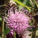 タイアザミ 花の姿