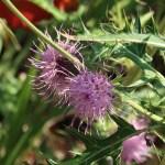 Cirsium nipponicum var. incomptum/ タイアザミ