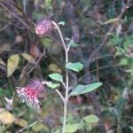 オヤマボグチ 花の咲いている様子