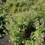 ハチジョウアザミ 花の咲いている様子