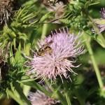 ハチジョウアザミ 花の姿