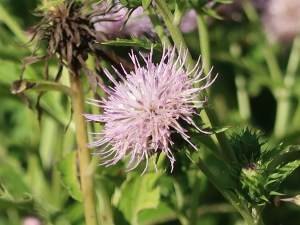 Cirsium hachijoense / ハチジョウアザミ