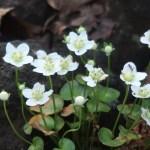 イズノシマウメバチソウ 花の咲いている様子
