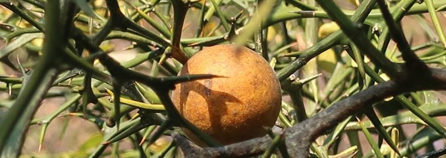 Trifoliate orange/ カラタチ