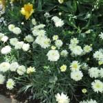 キンセンカ 花の咲いている様子
