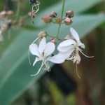 クラリンドウ 花の姿