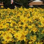 ヒマワリ 晩秋に満開の向日葵の花