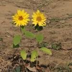 ヒマワリ 晩秋の向日葵 夏の向日葵に比べると小ぶり