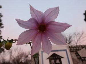 ダリア コウテイダリア 花の姿