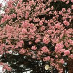 ヒマラヤザクラ 花の咲いている様子